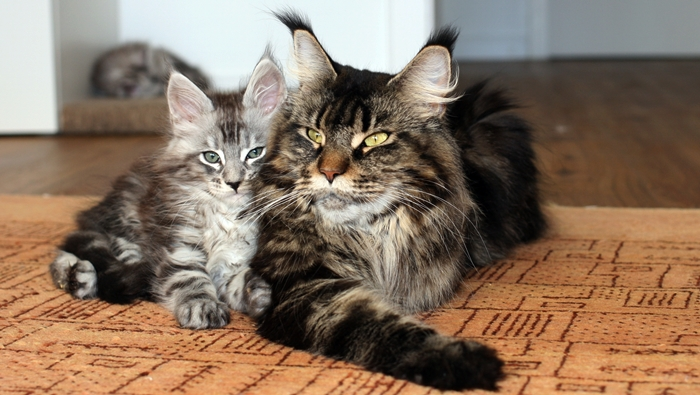 The Birdcage Maine Coon Cattery